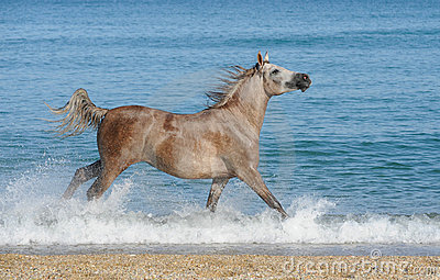 Arabian horse running gallop