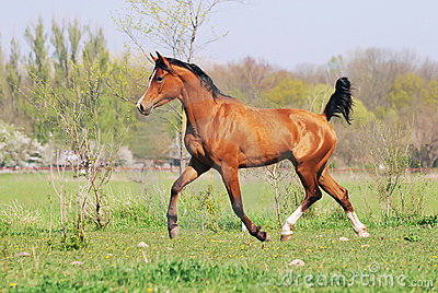 Arabian horse running trot on pasture