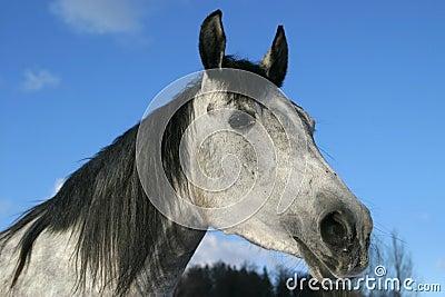 Arabian horse, Shagya arab