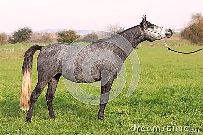Arabian horse in show-posture