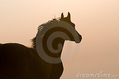 Arabian horse silhouette on the golden sky