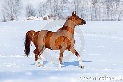 Arabian horse trot in winter.
