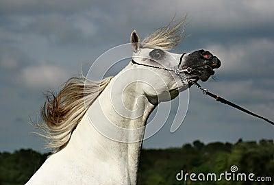 Arabian horse and wind