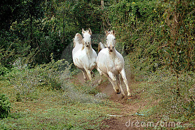 Arabian horses galloping