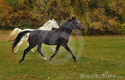 Arabian Horses Run in Autumn Colored Field