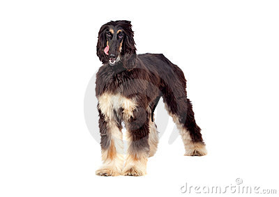 Arabian hound dog
