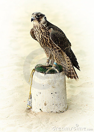 Arabian hunting falcon