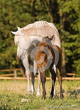 Arabian mare and foal