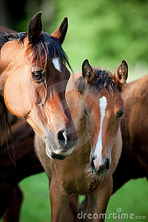 Arabian mare and foal in meadow