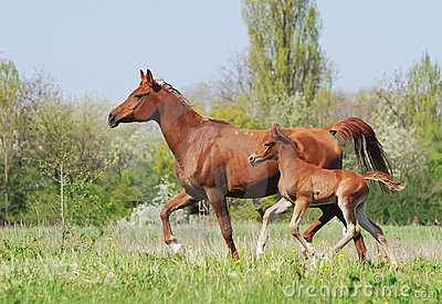 Arabian mare and foal running on pasture