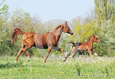 Udomi jednog konja! Arabian-mare-and-foal-running-on-pasture-thumb15618241
