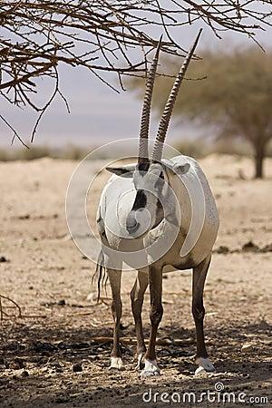 Arabian Oryx antelope