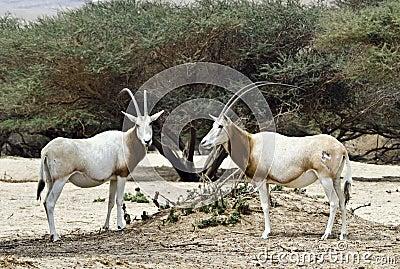 The Arabian oryx (Oryx leucoryx)