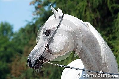 Arabian sire