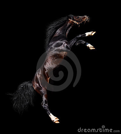 Arabian stallion rears