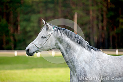 Arabian stallion