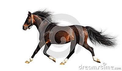 Arabian stallion trots