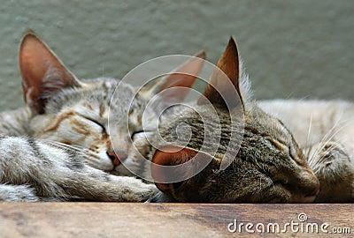 Arabian Wild Cats