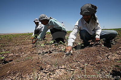 Arabic Agricultural Workers Editorial Photo