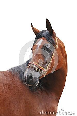 Arabisch geïsoleerdv paard