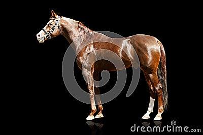 Arabischer Stallion trennte
