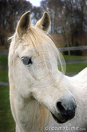 Arabisk häst