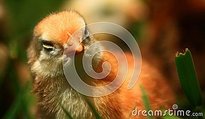 Aracauna Chick
