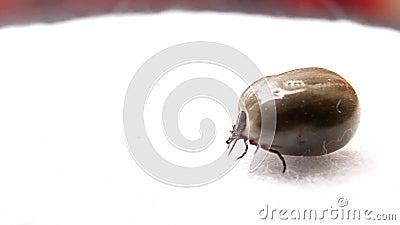 Aracnide parassitaria - segno di spunta archivi video