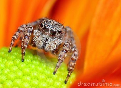 Araignée branchante de Turquie