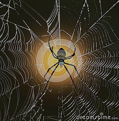 Araignée de jardin à dos blanc