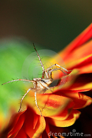 Araignée orange de lynx