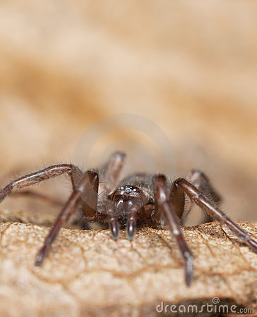 Araignée au sol furtive (Gnaphosidae)