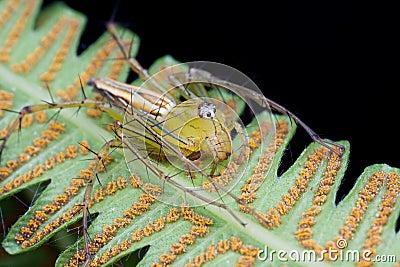 Araignée de lynx