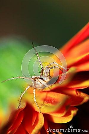 Aranha alaranjada do lince
