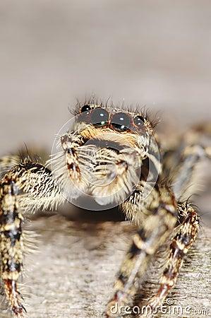 Aranha de Salticid