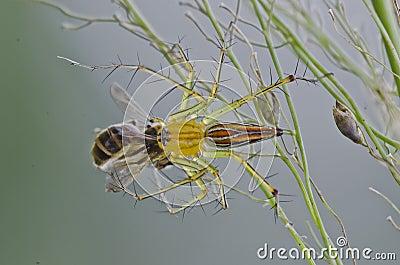 Aranha do lince que come uma abelha