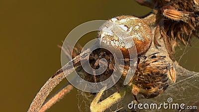 A aranha do quadratus do Araneus do Esfera-tecelão de quatro pontos senta-se em antecipação à vítima video estoque