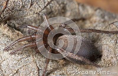 Aranha à terra furtiva (Gnaphosidae)