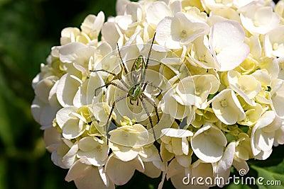 Aranha verde do lince no hydrangea
