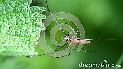 aranhas Longo-jawed do Esfera-tecelão, esfera Longo-jawed Weaver Spider, Tetragnatha montana - HOMEM video estoque