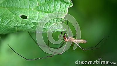 aranhas Longo-jawed do Esfera-tecelão, esfera Longo-jawed Weaver Spider, Tetragnatha montana - HOMEM filme