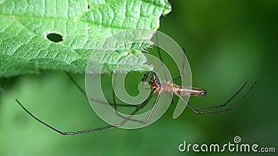 aranhas Longo-jawed do Esfera-tecelão, esfera Longo-jawed Weaver Spider, Tetragnatha montana - HOMEM vídeos de arquivo