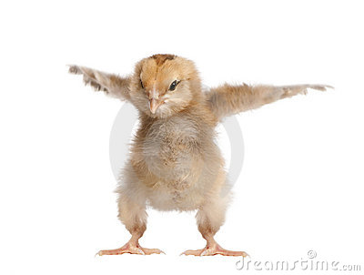 Araucana Chicken, in front of a white background