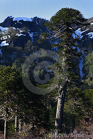 Araucaria araucana (Pehuen or Monkey-puzzle) tree