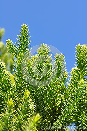 Free Araucaria Narrow-leaved Stock Images - 28507544