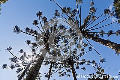 Araucaria Pine Trees