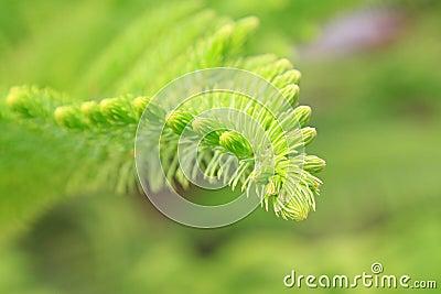 Araucaria stalk