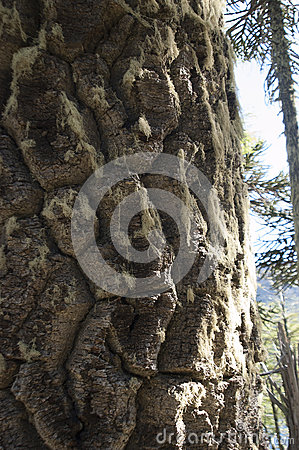 Araucaria trunk of the