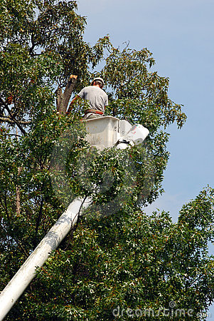 Arborist Trimming Tree