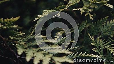 Arborvitae que crece en un jardín botánico almacen de video